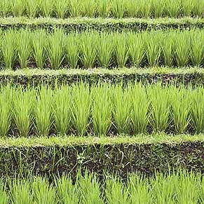 rice-field291