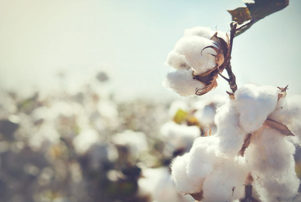 close up photo of cotton