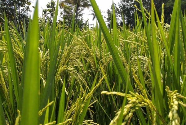 close up of growing rice grains